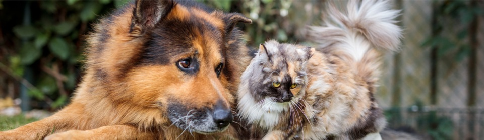 German Shepard dog playing with a long-haired cat